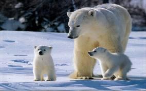 mamma orsa